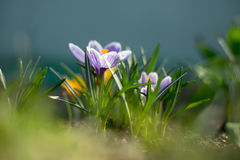 Spring early young crocuses in bright sun rays Royalty Free Stock Photos