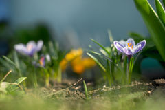 Spring early young crocuses in bright sun rays Stock Image