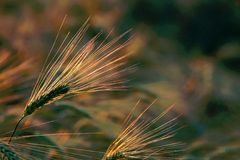 Free Spring Ears Of Wheat In Sun Rays Royalty Free Stock Image - 7384936