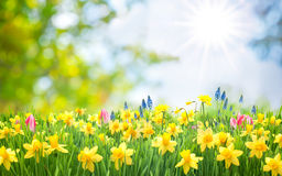 Spring Easter background. With beautiful yellow daffodils royalty free stock images