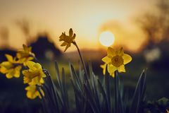 Spring Easter background with beautiful yellow daffodils royalty free stock photography