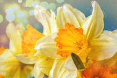 Spring Easter background with beautiful yellow narcissus. Summer flower background. Beautiful yellow colorful spring flower backgr Stock Photography
