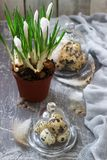 Spring or Easter composition with crocuses and quail eggs on a gray concrete background stock images