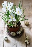Spring or Easter composition of crocuses and quail eggs. Rustic style. royalty free stock photography