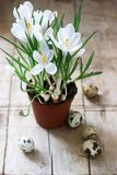Spring or Easter composition of crocuses and quail eggs. Rustic style. royalty free stock image