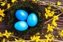 Spring Easter Nest with Blue Eggs on Yellow Forsythia, View from. Spring Easter Nest with Blue Colored Eggs on Yellow Forsythia Branches in Bloom with a Wooden Stock Photography
