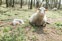 Spring the easter time in real world on farm, sheep and lamb lying on ground stock image