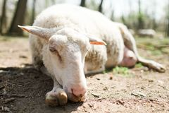 Spring the easter time in real world on farm, sheep lying on ground, bio ecological farm stock photography