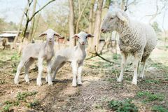 Spring the easter time in real world on farm, sheep and two lamb royalty free stock photo