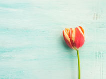 Spring easter tulip floral minimal pastel color background Royalty Free Stock Image