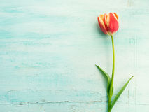 Spring easter tulip floral minimal pastel color background Royalty Free Stock Images