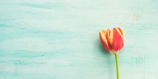 Spring easter tulip floral minimal pastel color background Stock Photos