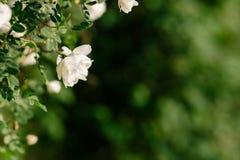 Spring eglantine bloom. Flowers of eglantine in bloom. Shallow depth of field Stock Photos