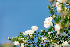 Spring eglantine bloom Stock Photos