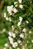 Spring eglantine bloom. Flowers of eglantine in bloom. Shallow depth of field Royalty Free Stock Images