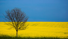 Spring, England. Rapeseed, Essex, England Stock Images