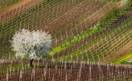 Spring European Rural Landscape At Sunny Day With Great First Flowering Tree And Rows Of Young Vineyards.White Blossoming Apple Tr Stock Photos