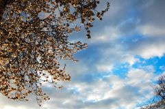 Spring blossom against a cloudy sky at sunset. royalty free stock image