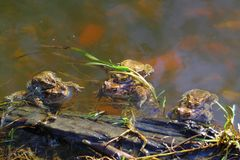Spring excitation. Early spring. Nature and feelings awakened in the spring sun. In rapid river toad engaged pairing. Claimed that they were not the river flow Stock Photos