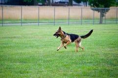 Spring för den tyska herden på hunden parkerar Arkivbild
