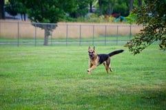Spring för den tyska herden på hunden parkerar Arkivbilder