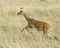 Spring för gasell för ` s för lån för Closeupsideviewvuxen människa till och med gräs Royaltyfri Foto