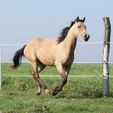 Spring för hjortläderfjärdedelhäst på betesmark Royaltyfria Bilder