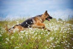 Spring för hund för tysk herde på ett fält Royaltyfria Bilder