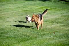 Spring för hund för tysk herde på en äng royaltyfri foto