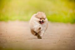 Spring för Pomeranian Spitzvalp Royaltyfria Bilder