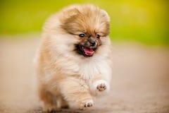 Spring för Pomeranian Spitzvalp och se kameran Royaltyfria Bilder