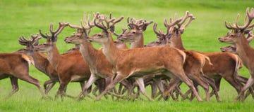 Spring för röda hjortar Fotografering för Bildbyråer