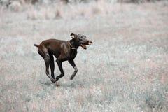 Spring för smutsig hund arkivfoto