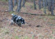 Spring för spanieljakthund i höstskog Royaltyfria Bilder