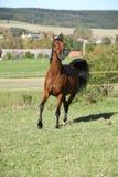 Spring för sto för Nice brunt arabisk Royaltyfria Foton