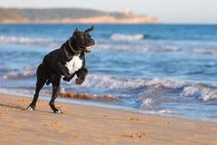 Spring för svart hund för stora danes på stranden royaltyfri fotografi