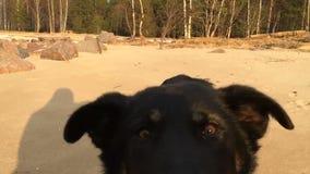 Spring för svart hund på sanden direkt in i riktningen för kameralins