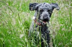 Spring för svart hund till och med långt gräs Royaltyfri Foto
