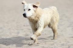 Spring för våt och smutsig hund arkivfoto