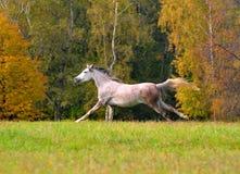 Spring för vit häst på ängen i höst Royaltyfri Bild