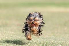 Spring för Yorkshire terrier royaltyfria foton