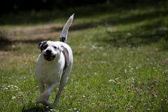 Spring förföljer Smart svartvit hund Smart bedårande hund Arkivbilder