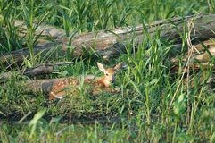 Spring Fawn Royalty Free Stock Photo