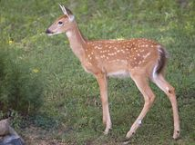 Spring fawn. Whitetail fawn near flowers in the spring stock photos