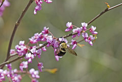 Spring Feast. Bee feeding on Redbud blooms in early Spring royalty free stock image