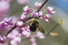 Spring Feast. Bee feeding on Redbud blooms in early Spring royalty free stock images