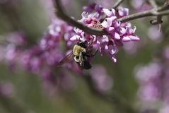 Spring Feast. Bee feeding on Redbud blooms in early Spring stock photos