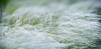 Spring feather grass waving in the field. Web banner. royalty free stock image