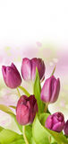 Spring feeling with pink tulip Royalty Free Stock Images