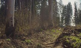 Spring in the felling. Forest felling in spring. Save nature concept royalty free stock photo